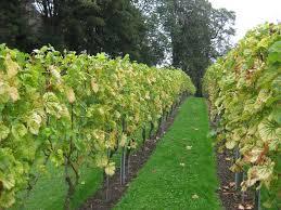 wijngaard6